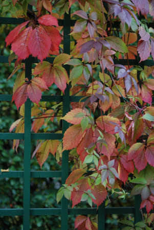 Red leaves of vine are in autumn on a background a green fence Stock Photo - 4915683