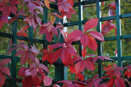 Red leaves of vine are in autumn on a background a green fence Stock Photo - 4915781