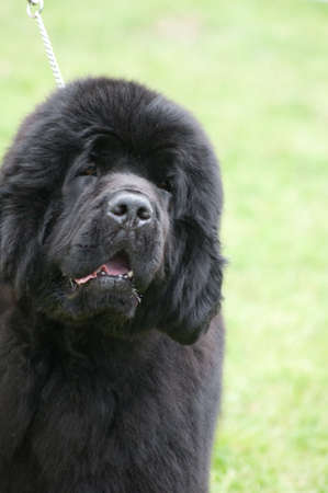 Great big black Newfoundland dog out for a walk in the countryside photo