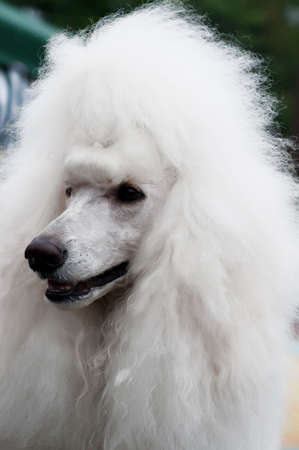 conformation: Head study of white standard poodle with diamond stud collar