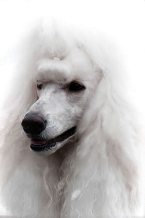Head study of white standard poodle with diamond stud collar photo