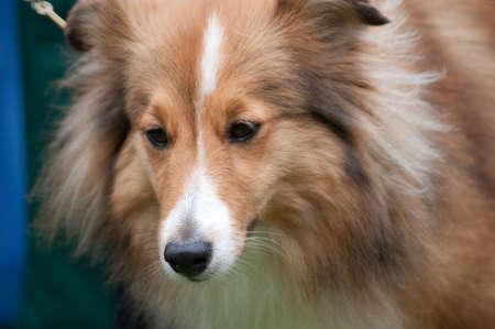 chien: miniature a collie