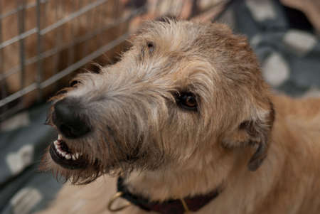 A beautiful Irish Wolfhound dog head portrait with cute expression in the face  photo