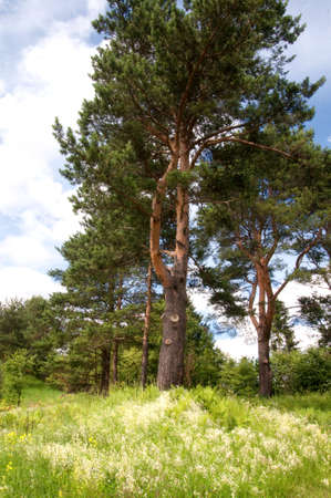 hillock: pine-tree on a hillock with flowers