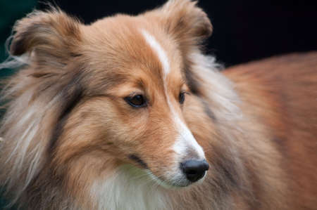 Collie portrait -watching dog portrait Stock Photo - 5156981