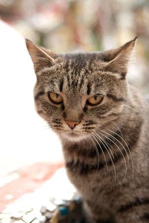 innate: gatto grigio  Archivio Fotografico