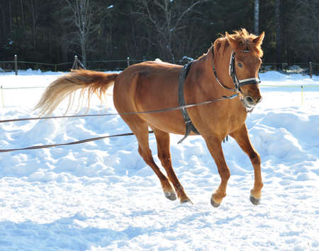 gelding: Horse running in winter, countryside in the background. Stock Photo