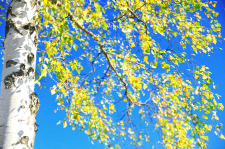 flavescent leaves of birch on a background blue sky photo