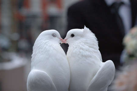 pair of white pigeons photo