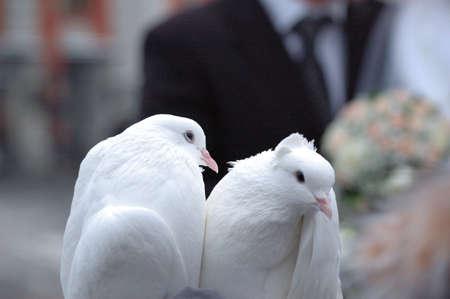 pair of white pigeons photo