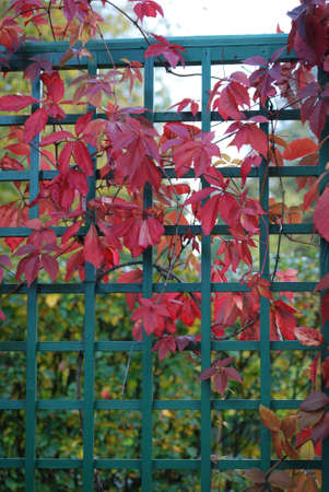Red leaves of vine are in autumn on a background a green fence Stock Photo - 5729958