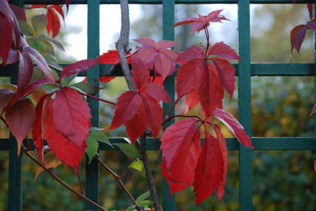 Red leaves of vine are in autumn on a background a green fence Stock Photo - 5729959