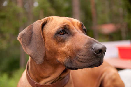 A nice looking black nosed Rhodesian Ridgeback with nice expression in head is watching other dog outdoors. Stock Photo - 5788139
