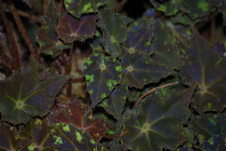 contorted: Abstract image of contorted begonia leaf edge with shallow depth of field Stock Photo