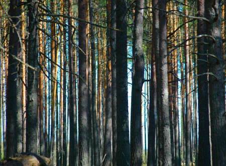 Photo of a dense pine wood in the afternoon Stock Photo - 5941358