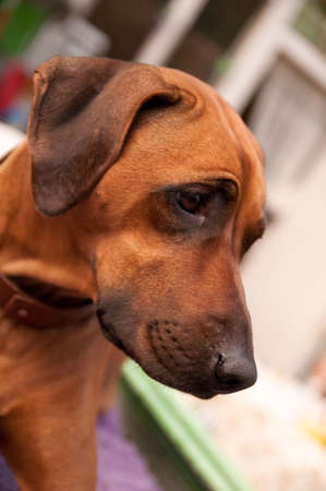 � fond: A nice looking black nosed Rhodesian Ridgeback with nice expression in head is watching other dog outdoors.