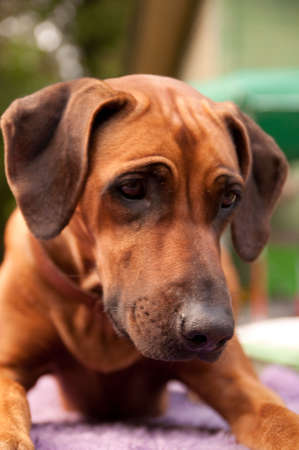 A nice looking black nosed Rhodesian Ridgeback with nice expression in head is watching other dog outdoors. photo