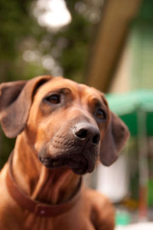 thoroughly: A nice looking black nosed Rhodesian Ridgeback with nice expression in head is watching other dog outdoors.