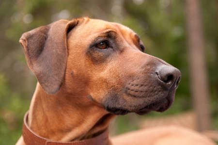 ridgebacks: A nice looking black nosed Rhodesian Ridgeback with nice expression in head is watching other dog outdoors.