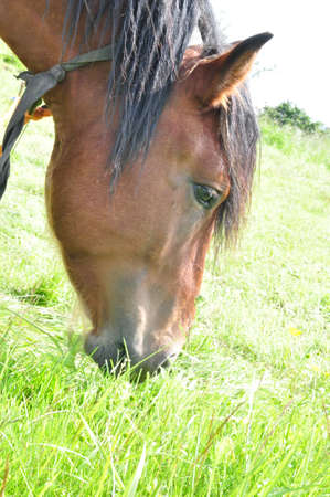 grazed: The brown horse grazed in the field Stock Photo