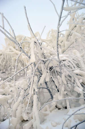 The branches covered with snow and ice photo