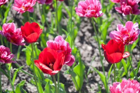 individualist: Pink and red tulips