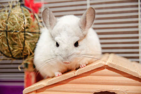 The white chinchilla sitting on a roof of the small house