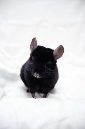 chinchilla: Small black chinchilla