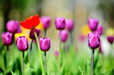 Violet and red tulips Stock Photo - 7022300