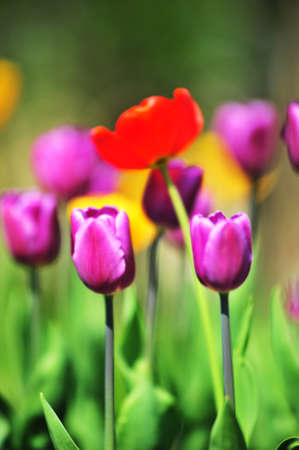 Violet and red tulips on a green background Stock Photo - 7022299