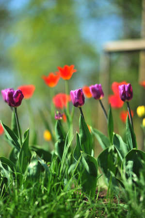 Violet and red tulips on a green background Stock Photo - 7022301