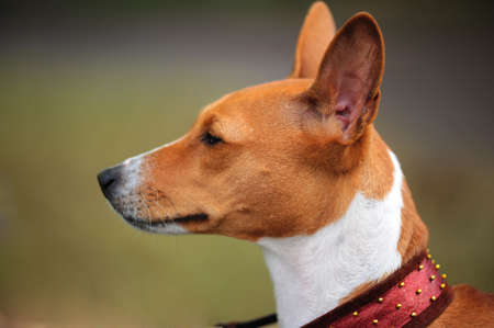 Basenji dog portrait photo