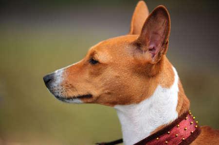Basenji dog portrait photo