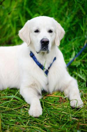 perro labrador: Close up tiro de cabeza de un blanco retriever de labrador.  Foto de archivo