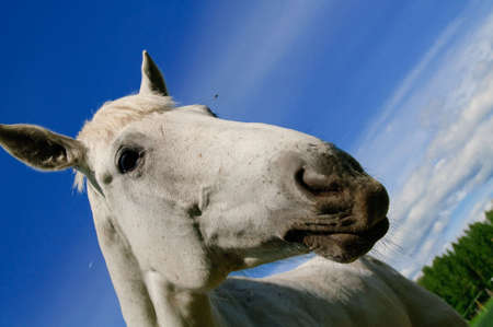 Head of a white horse photo
