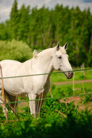 White horse against wood and the nature photo