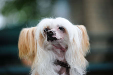 The Chinese Crested Dog photo