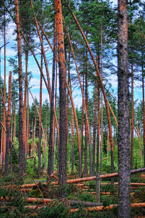 Wood with the broken trees. Consequences of hurricane storming under Sankt Petersburg, Russia Stock Photo - 7540283