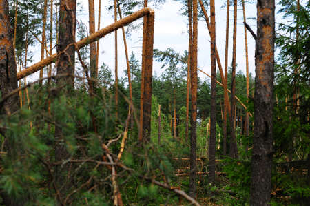 consequences: Wood with the broken trees. Consequences of hurricane storming under Sankt Petersburg, Russia Stock Photo