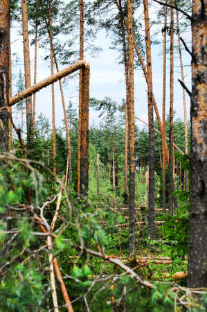 Wood with the broken trees. Consequences of hurricane storming under Sankt Petersburg, Russia Stock Photo - 7540281