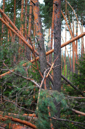 Wood with the broken trees. Consequences of hurricane storming under Sankt Petersburg, Russia Stock Photo - 7557198