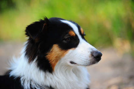 An Australian Shepherd dog head portrait photo