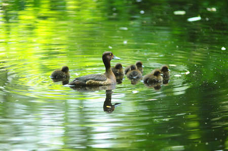 Duck with ducklings photo