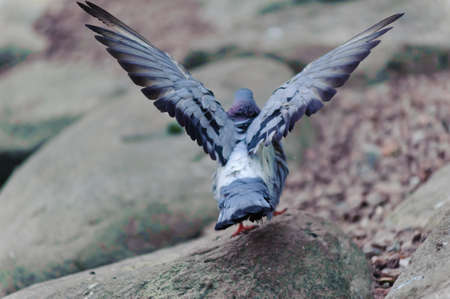 The gray pigeon who has spread wings and gathering to fly up photo