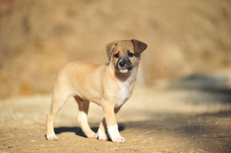 The small brown amusing puppy frolicing in the street Stock Photo - 8166880