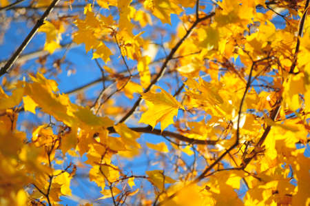 Yellow maple leaves against the blue sky photo