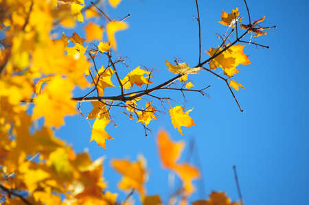 Yellow maple leaves against the blue sky Stock Photo - 8166886