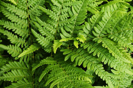 fern leaves Stock Photo