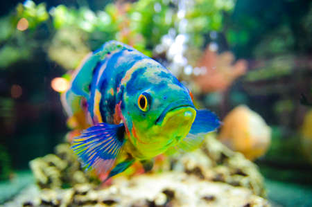 Blue Stripped Tropical Fish Stock Photo - 8318650