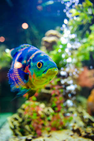 fish tank: Blue Stripped Tropical Fish